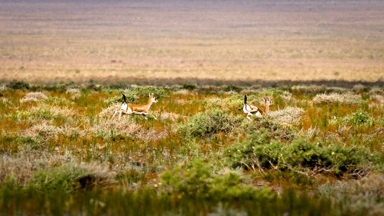 Black Tailed Gazelle's shot at full stretch (300mm) on a cropped sensor.