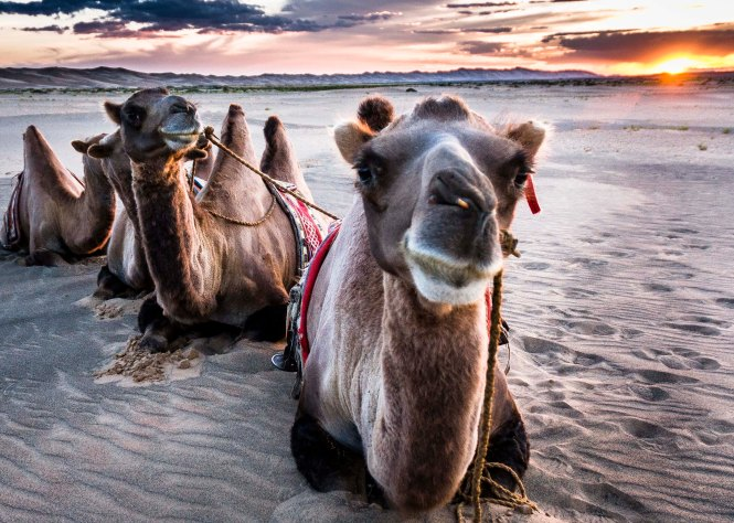 Camel Trek at Sunset