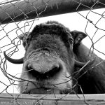 Mirny Zoo, Bison, Fence, Face,