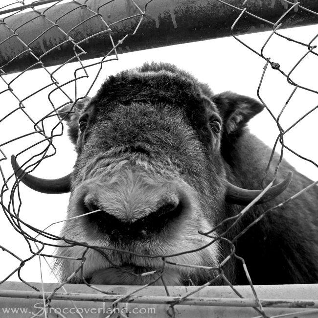 Mirny Bison