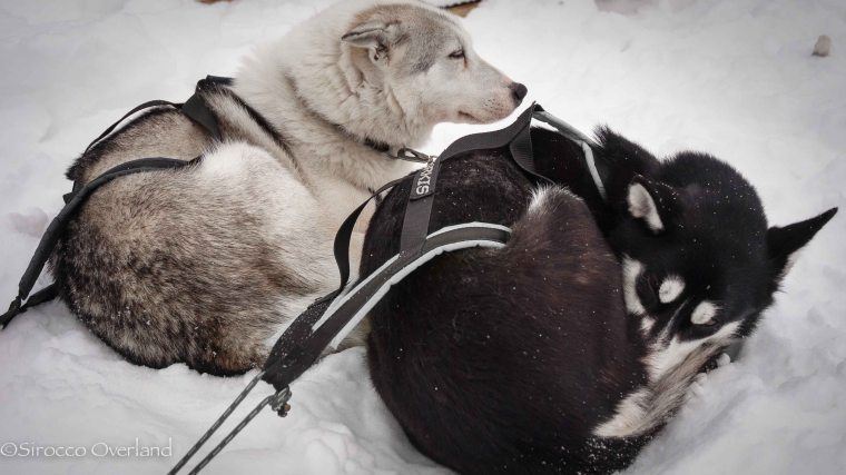 Finnish Lappland - Huskies at rest