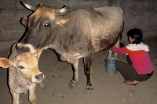 Milking
